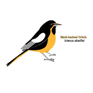 Orioles, New World Blackbirds, etc (Icteridae)